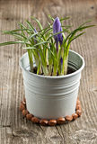 Flor púrpura del azafrán Imagen de archivo