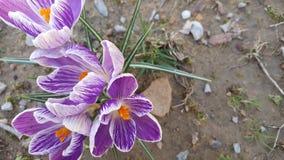 Flor púrpura del azafrán Fotografía de archivo