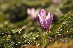 Flor púrpura del azafrán en la primavera Imagenes de archivo