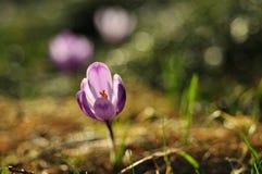Flor púrpura del azafrán en la primavera Fotografía de archivo libre de regalías