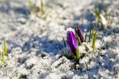 Flor del azafrán en nieve durante la primavera temprana Foto de archivo