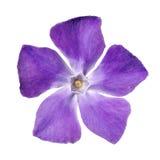 Flor púrpura del bígaro - menor de edad del Vinca Imagenes de archivo