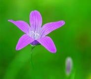 Flor púrpura del bosque Imagen de archivo
