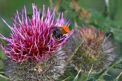 Flor púrpura del cardo y una abeja Fotos de archivo libres de regalías