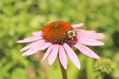 Flor púrpura del cono Imagenes de archivo