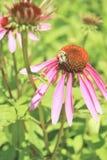 Flor púrpura del cono Fotografía de archivo libre de regalías