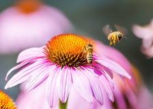 Flor púrpura del cono con las abejas Foto de archivo libre de regalías