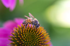 Flor púrpura del cono de la abeja Imagenes de archivo