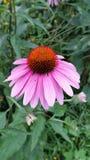 Flor púrpura del cono en el verano Foto de archivo