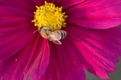 Flor púrpura del cosmea Foto de archivo libre de regalías