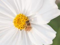 Flor púrpura del cosmea con una abeja Imagen de archivo