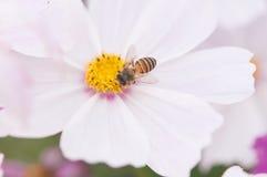 Flor púrpura del cosmea con una abeja Imagenes de archivo