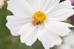 Flor púrpura del cosmea con una abeja Fotografía de archivo libre de regalías