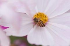 Flor púrpura del cosmea con una abeja Foto de archivo