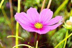 Flor púrpura del cosmea (cosmos) Fotografía de archivo