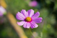 Flor púrpura del cosmos fotos de archivo libres de regalías