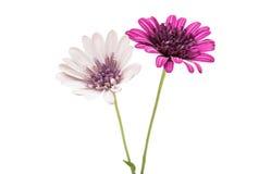 Flor púrpura del crisantemo (familia de la margarita) Foto de archivo