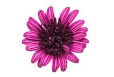 Flor púrpura del crisantemo (familia de la margarita) Fotos de archivo