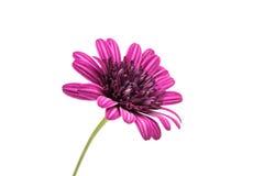 Flor púrpura del crisantemo (familia de la margarita) Fotografía de archivo libre de regalías