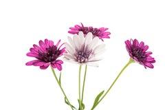 Flor púrpura del crisantemo (familia de la margarita) Imagen de archivo libre de regalías