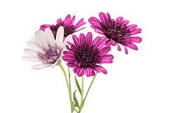 Flor púrpura del crisantemo (familia de la margarita) Imagenes de archivo