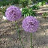 Flor púrpura del ` de la sensación del ` del aflatunense del allium Imágenes de archivo libres de regalías