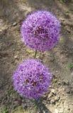 Flor púrpura del ` de la sensación del ` del aflatunense del allium Foto de archivo libre de regalías