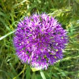 Flor púrpura del ` de la sensación del ` del aflatunense del allium Fotografía de archivo