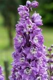 Flor púrpura del delfinio Foto de archivo libre de regalías