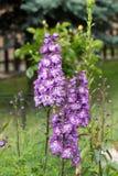 Flor púrpura del delfinio Imagen de archivo libre de regalías