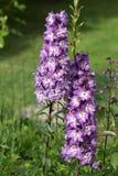 Flor púrpura del delfinio Imágenes de archivo libres de regalías