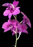 Flor púrpura del Dendrobium Foto de archivo
