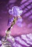 Flor púrpura del iris imagen de archivo libre de regalías
