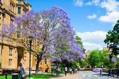 Flor púrpura del Jacaranda hermoso que florece cerca del edificio histórico en Sydney University en la estación de primavera fotos de archivo