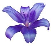 Flor púrpura del lirio, aislada con la trayectoria de recortes, en un fondo blanco lirio hermoso, centro rosado Para el diseño Imágenes de archivo libres de regalías