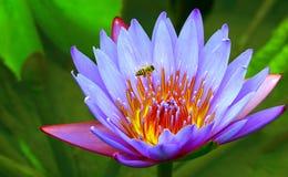 Flor púrpura del lirio de agua y una abeja del manosear Imagen de archivo libre de regalías