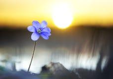 Flor púrpura del nemorosa de la anémona Imágenes de archivo libres de regalías