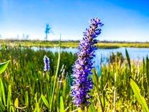 flor púrpura del pantano en el pantano Fotografía de archivo libre de regalías
