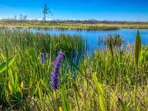 flor púrpura del pantano en el pantano Imagen de archivo libre de regalías