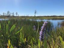 flor púrpura del pantano en el pantano Imagenes de archivo