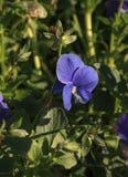 Flor púrpura del pensamiento Foto de archivo libre de regalías