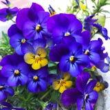 flor púrpura del pensamiento con blanco en un jardín Decoración, naturaleza foto de archivo