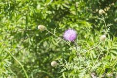 Flor púrpura del puerco espín Foto de archivo libre de regalías