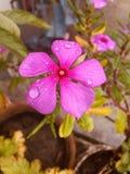 Flor púrpura del reloj de la flor foto de archivo