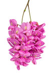 Flor púrpura del sophora imagen de archivo