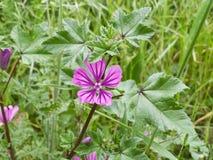 Flor púrpura del sylvaticum del geranio en un campo imagenes de archivo