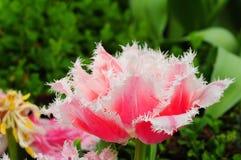 Flor púrpura del tulipán Imagen de archivo