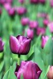 Flor púrpura del tulipán Imágenes de archivo libres de regalías