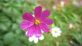 Flor púrpura después del primer de la lluvia lento almacen de metraje de vídeo