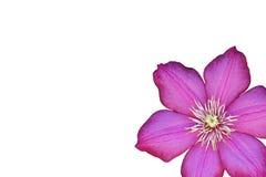 Flor púrpura en blanco Imagenes de archivo